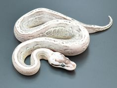 Black Pewter Super Stripe - Morph List - World of Ball Pythons
