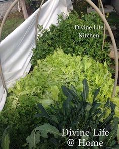 There are a lot of crazy, f-ed up things going on in the world, but I can grow lettuce and greens for myself and my community. Let's change the world by growing our own food and taking care of one another. #commUNITYgarden #growyourownfood #megasaladbowl #divinelifekitchen #highvibrationfood