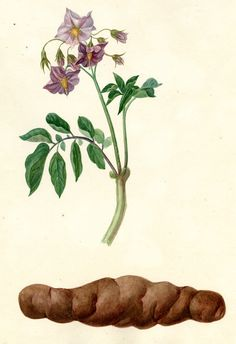 Harvard University Herbaria - Botany Libraries Archives Economic Botany Potato Prints Potato Tattoo, Potato Print, Harvard University, Botanical Illustration, Botany, Libraries, Agriculture, Artsy Fartsy, Flora