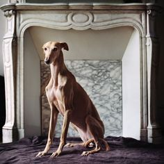 Venda. Photographer Mathias de Lattre fights to raise awareness for abused & rescue Iberian Greyhounds, Galgos & Podencos in Spain through his gallery show in Paris and book, Salvados!