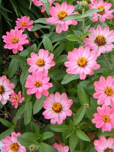 Powerful Pink Zinnias by Mary Sedivy. Pink is the color of feminine beauty and grace. Powerful pink zinnia flowers enliven the environment with a feel of hope and happiness.