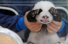 there's no denying it... baby pandas are *ridiculously* adorable