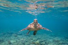 gili-meno release turtles