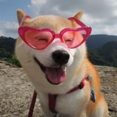 blocking out the haters Like Animals, Animals And Pets, Baby Animals, Funny Animals, Cute Puppies, Cute Dogs, Canis, Cute Creatures, Shiba Inu