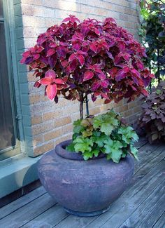 Coleus topiary and heuchera on the patio
