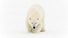 Polar bear (Ursus maritimus) in northeast Greenland (Credit: Morten Hilmer) Greenland Dog, Earth Design, Big Bear, Sled, Science Nature, Arctic, Wildlife, Fantasy, World