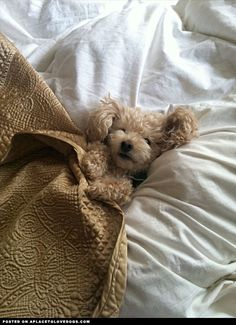 Cutest toy Poodle enjoying a little snuggle time  Awwwww what a little sweetie!