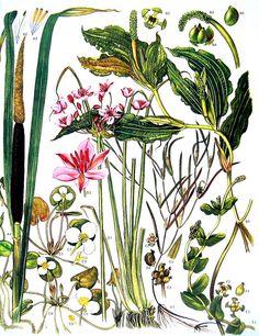 Shining Pondweed Frogbit Flowering Rush Great by mysunshinevintage