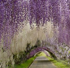 Wisteria Tunnel at the Kawachi Fuji Gardens in Kitakyushu, Japan (by WeddingDressesUK).
