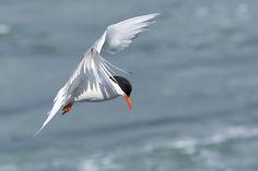 Foto trinta-réis-de-bico-vermelho (Sterna hirundinacea) por Ivan Marques | Wiki Aves - A Enciclopédia das Aves do Brasil