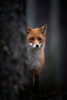 Using focus on an orange fox on a dark background makes the photograph give of a feeling of being misplaced or lost.