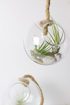 Airplants - Meine Tillandsien im Glasball
