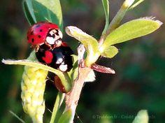 Trublion's Work : Photographie macro d'insecte, accouplement de coccinelles (LadyBug) multi-ethnique dans un jardin  (LadyBugs in love) par Trublion m2