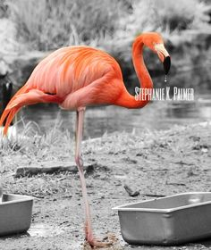 Had a little bit of fun with PicMonkey on this one  #edits #photography #picmonkey #apps #photoedit #flamingo #color #colorpop #livingincolor #birds #zooanimals #animals