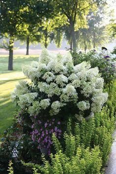 weißer Hortensienstrauch und niedrige grüne Pflanzen