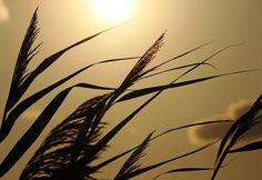 "Check out my art piece ""Grass In Silhouette"" on crated.com - Puslinch Ontario Canada #art #photography #grass #sunset"