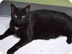 Brooklyn, NY - Domestic Shorthair. Meet CHIPMUNK, a cat for adoption. http://www.adoptapet.com/pet/13173804-brooklyn-new-york-cat