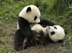 Afbeeldingsresultaat voor pandaberen