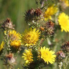 Berkheya echinacea Kwazulu Natal, Wildflowers, Wildlife, Plants, Plant, Wild Flowers, Planets