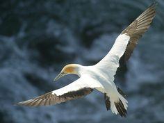 bird diving - Google-haku
