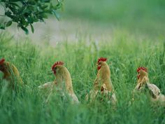 Hens in tall grass
