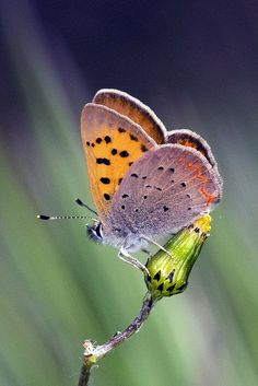 Lycaena helloides: The purplish copper can be found scattered throughout the western half of the state, but it is most often encountered in northwestern Ohio. The Ohio Division of Wildlife lists this species as endangered.