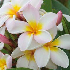 Plumerias In my garden. Frangipani Wedding, Wedding Flowers, Hawaii Flowers, Tahiti, Planting Flowers, Beautiful Flowers, Landscape, Garden, Nature