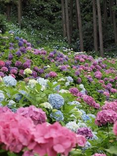 Hydrangea Forest - Kamakura, Japan - this is the variation of hydrangea colors - haley.... your bouquet could have blue and purple just from hydrangeas