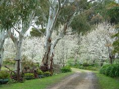 Best use of Natives & Exotics - Love this Driveway! This is in the Adelaide Hills. Imagine how stunning it would be approaching the property at night when they do their ghostly glow in the headlights -mesmerising! Tree Lined Driveway, Specimen Trees, Garden Trees, Gate, Exotic, Country Roads, Real Estate, Landscape, Driveways