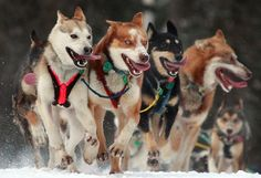 Such cuteness in IDITAROD TRAIL SLED DOG RACE