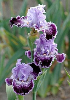 Tall Bearded Iris 'Captain Thunderbolt'