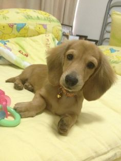 This mini dachshund is nearly a dead ringer for my Finn! Sweetest baby ever...