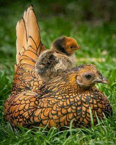 bfda82c5fb 84 mejores imágenes de gallinas