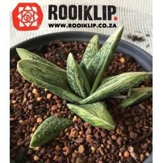 This Gasteraloe is a Very different but spectacular plant with unusual colouring. It has fat, smooth, icy light green leaves. Plants, Green, Green Leaves, Cactus Plants