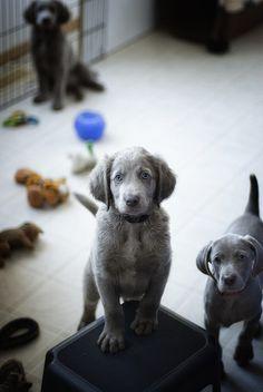 grey fur and blue eyes. precious.