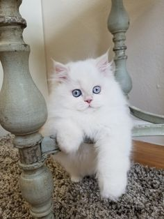 Persian Cat Gallery - Cat's Nine Lives Himalayan Kittens For Sale, Persian Kittens For Sale, Kittens Cutest, Cats And Kittens, Cute Cats, Beautiful Kittens, Cat With Blue Eyes, Cat Whisperer, F2 Savannah Cat