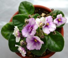 Ness Angel Eyes African Violet Plant with Blooms