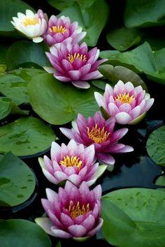 Waterlillies xx