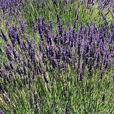 ...a quiet life...: a lavender picnic~