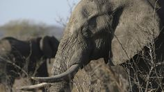 Advocacy groups grapple with why Trump overruled his administration on elephant trophies from Zimbabwe  ||  A White House aide and others say Trump did not know about the administration's decision to lift the trophy ban until he saw news reports. http://www.washingtonexaminer.com:80/advocacy-groups-grapple-with-why-trump-overruled-his-administration-on-elephant-trophies-from-zimbabwe/article/2641556?utm_campaign=crowdfire&utm_content=crowdfire&utm_medium=social&utm_source=pinterest