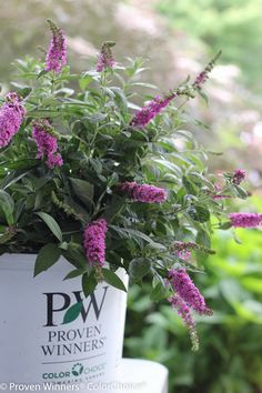 """Proven WInners 'Lo and Behold' Dwarf Butterfly Bush; 18-24"""" hxw; full sun. This plant can die to the ground in zone 5. Unattractive habit in larger sizes, but the butterflies are wonderful and it's highly fragrant. Pinks, purples, white."""