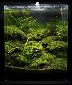"Germany 2011 ""Art of the planted tank"" Landscaping plants Competition Results - Swamp House cylinder"