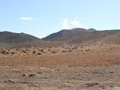 Il y a 100 000 chèvres, soit, le même nombre d'habitants !