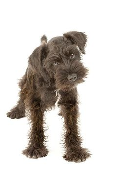 This cuddly schnauzer is part of a breed known for bristly mustaches and whiskers. They are good with children and very sociable. They are a very old breed -- Rembrandt painted several schnauzers. Celebrities who have owned schnauzers include Usher, Katherine Heigl, Rob Lowe and Bill Cosby.