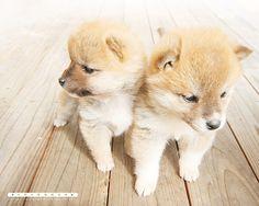 Shiba puppies, fluffiest babies EVER Pretty Animals, Cute Baby Animals, Animals And Pets, Cute Puppies, Cute Dogs, Dogs And Puppies, Shiba Puppy, Shiba Inu, Sleeping Animals