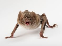 When vampire bats acquired their taste for blood, they lost their ability to sense bitter flavors, according to a new study.