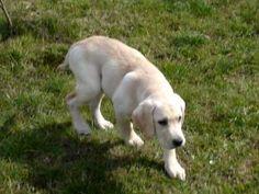 Labrador Retriever - Bili Adekatos Poland