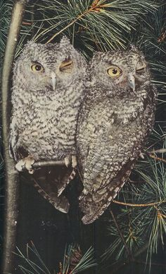 1959 A pair of screech owls