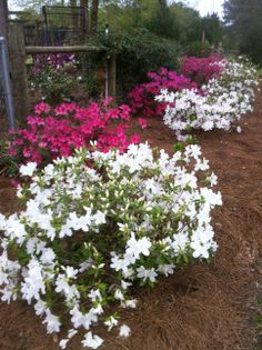 Spring Azaleas in Louisiana...Photo by Linda Guy Phillips