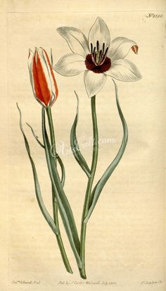 The Biodiversity Heritage Library works collaboratively to make biodiversity literature openly available to the world as part of a global biodiversity community. Carl Linnaeus, Tulips, Commercial, Painting, Painting Art, Paintings, Paint, Draw, Tulip